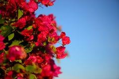 Kolorowy makro- kwiatu tło z niebieskim niebem Delikatnie menchia kwiaty z bliska Zdjęcie Royalty Free