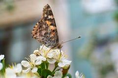 Kolorowy motyl zbiera pollen od czereśniowych okwitnięć z swój kłujkami zdjęcia stock