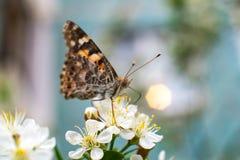 Kolorowy motyl zbiera pollen od czere?niowych okwitni?? z sw?j k?ujkami zdjęcie stock