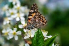 Kolorowy motyl zbiera pollen od czere?niowych okwitni?? z sw?j k?ujkami obrazy stock
