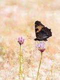 Kolorowy motyli mały tortoiseshell na flo (Aglais urticae) Zdjęcie Stock