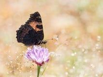 Kolorowy motyli mały tortoiseshell na flo (Aglais urticae) Zdjęcia Royalty Free
