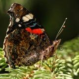 Kolorowy motyli vanessa atalanta obraz stock