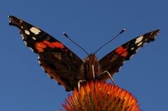 Kolorowy motyli vanessa atalanta zdjęcie royalty free