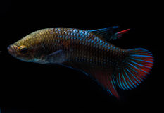 Kolorowy na ciało małej ryba Obraz Stock