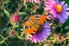 Kolorowy naturalny tło z Pawim motylem na kwiacie Obraz Stock