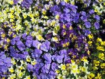 Kolorowy pansy Zdjęcia Stock