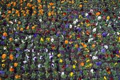 Kolorowy pansy kwiat zdjęcie stock