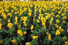 Kolorowy pansy kwiat obraz stock