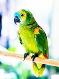 Kolorowy papuzi obsiadanie na drewnianym kiju obrazy royalty free