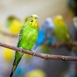 Kolorowy parakeet zdjęcie royalty free