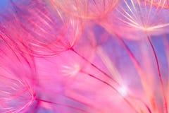 Kolorowy Pastelowy tło - żywy abstrakcjonistyczny dandelion kwiat Fotografia Stock
