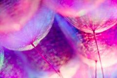 Kolorowy Pastelowy tło - żywy abstrakcjonistyczny dandelion kwiat Zdjęcie Stock