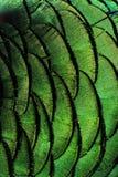 Kolorowy paw upierza tło Obraz Royalty Free