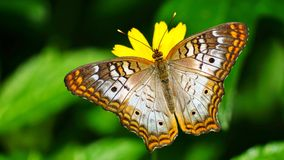 Kolorowy Pawi motyl Fotografia Royalty Free