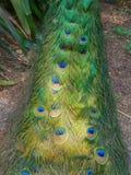 Kolorowy pawi ogonu lying on the beach na ziemi zdjęcia stock