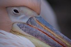 Kolorowy pelikana belfer Zdjęcie Royalty Free