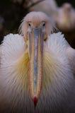 Kolorowy pelikana belfer Fotografia Stock