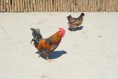 Kolorowy peruh symbol rok w wschodnim kalendarzu, chodzi farmyard jarda Obrazy Stock