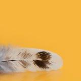 Kolorowy piórko textured makro- widok fotografia Pięknego kurczaka upierzenia ptasi wzór na żółtym tle Płytka głębia Obraz Royalty Free