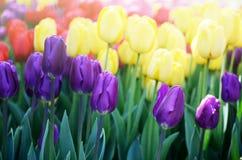 Kolorowy pogodny pole tulipany Wiosny sezonowy kwiecisty tło zdjęcie stock