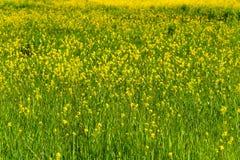 Kolorowy pole kwitnienie rap w wiośnie fotografia stock