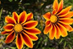 Kolorowy pomarańcze i koloru żółtego Gazania kwitnie w ogródzie w wiośnie obrazy stock