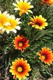 Kolorowy pomarańcze i koloru żółtego Gazania kwitnie w ogródzie w wiośnie obraz stock