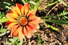 Kolorowy pomarańcze i koloru żółtego Gazania kwitnie w ogródzie w wiośnie obraz royalty free