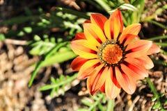 Kolorowy pomarańcze i koloru żółtego Gazania kwitnie w ogródzie w wiośnie zdjęcie stock