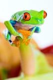 kolorowy przyglądający się żaby czerwieni drzewo Obrazy Royalty Free