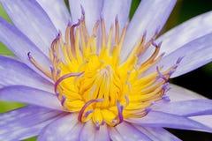 Kolorowy purpurowy lotosowy zbliżenie piękny Obrazy Stock