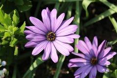 KOLOROWY PURPUROWY stokrotka kwiat obrazy royalty free