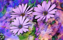 KOLOROWY PURPUROWY stokrotka kwiat fotografia royalty free