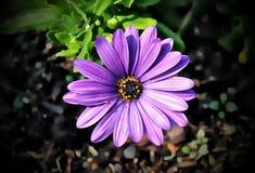 KOLOROWY PURPUROWY stokrotka kwiat zdjęcia royalty free