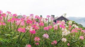 Kolorowy różowy biały czerwony kwiatu ogród w wsi wewnątrz Obraz Stock