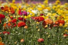 Kolorowy Ranunculus kwiatu pole Zdjęcie Stock