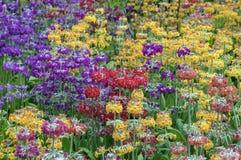 Kolorowy rozszerzanie się kwiaty fotografia stock