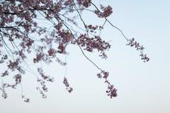 Kolorowy Sakura czere?niowy okwitni?cie w parku w Ryskich, Wschodnich menchiach, - europejska stolica Latvia i magenta kolory - obraz stock