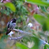 Kolorowy samiec Anna Hummingbird Przyciąga Swój szturmanu obraz royalty free