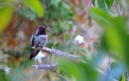 Kolorowy samiec Anna Hummingbird Przyciąga Swój szturmanu obraz stock
