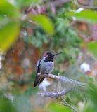 Kolorowy samiec Anna Hummingbird Przyciąga Swój szturmanu obrazy stock