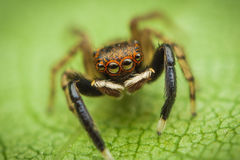 kolorowy skokowy pająk zdjęcie stock