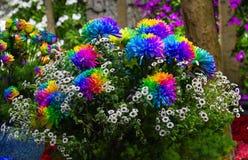 Kolorowy stokrotka kwiatu zbliżenie (Kolorowy bertram) Zdjęcia Royalty Free