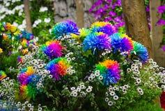 Kolorowy stokrotka kwiatu zbliżenie (Kolorowy bertram) Zdjęcie Stock