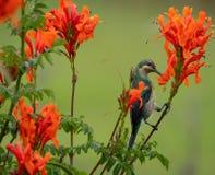 Kolorowy sunbird z iryzuje colour pi?rka, fotografuj?cych w Drakensberg g?rach blisko Cathkin szczytu, Po?udniowa Afryka obraz stock