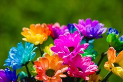 kolorowy tęczy chryzantemy zbliżenia krótkopęd Obrazy Royalty Free
