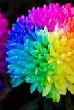 Kolorowy tęczy chryzantemy kwiat Obrazy Royalty Free