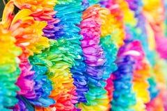 Kolorowy tęczy chryzantemy kwiat Fotografia Royalty Free