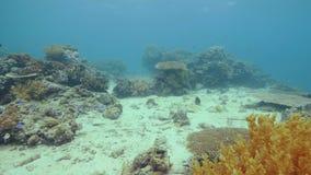 Kolorowy tropikalny rybi dopłynięcie nad rafą koralową na dno morskie podwodnym widoku Podwodnego dopatrywania denny świat podcza zbiory wideo
